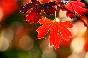Derniers instants de ces feuilles encore sur la branche, bientôt elles recouvriront le sol ... et de disparaître !  dans AUTOMNE besace20automne201-300x199