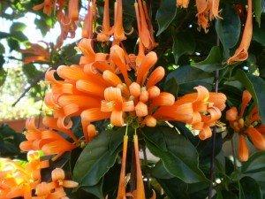 jolies-fleurs-de-Madagascar